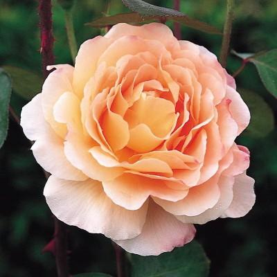 Роза английская Тамора ОКС
