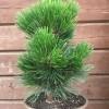 Сосна горная Гном C7,5 H25-30 см