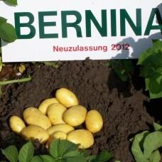Картофель семенной Бернина (1кг/уп)