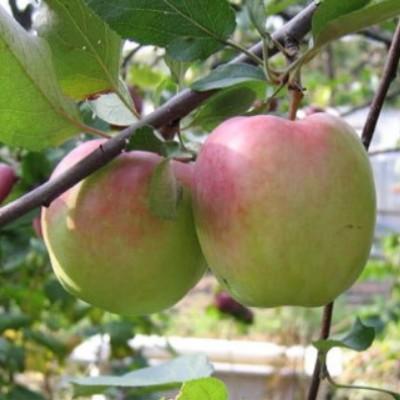 Яблоня Зимняя красавица 3-х летнее ЗКС