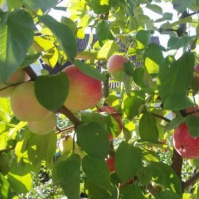 Яблоня Коробовка 4-х летнее зкс
