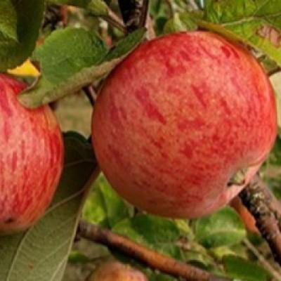 Яблоня Осеннее полосатое 2-х летнее ЗКС (полукарликовый подвой)