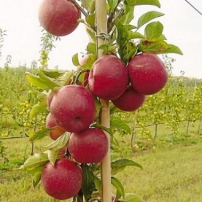 Яблоня колонновидная Джин 2-х летнее ЗКС