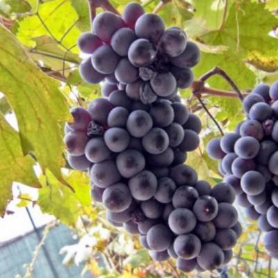 Виноград Альфа C2