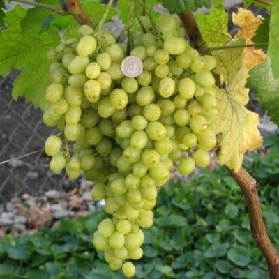 Виноград Краса Севера C2
