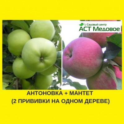 Яблоня с 2-мя прививками АНТОНОВКА + МАНТЕТ 3-х летнее ЗКС