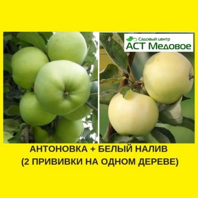 Яблоня с 2-мя прививками АНТОНОВКА + БЕЛЫЙ НАЛИВ 3-х летнее ЗКС