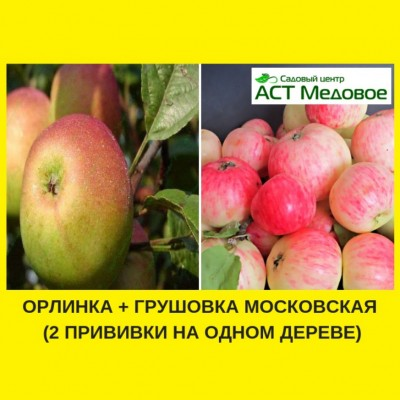 Яблоня с 2-мя прививками ОРЛИНКА + ГРУШОВКА МОСКОВСКАЯ 3-х летнее ЗКС