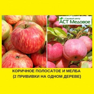 Яблоня с 2-мя прививками КОРИЧНОЕ ПОЛОСАТОЕ + МЕЛБА 3-х летнее ЗКС