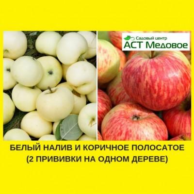Яблоня с 2-мя прививками БЕЛЫЙ НАЛИВ + КОРИЧНОЕ ПОЛОСАТОЕ 3-х летнее ЗКС
