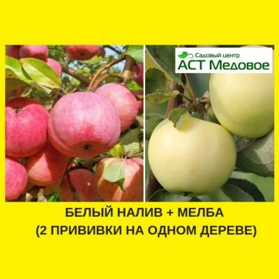 Яблоня с 2-мя прививками БЕЛЫЙ НАЛИВ + МЕЛБА 3-х летнее ЗКС