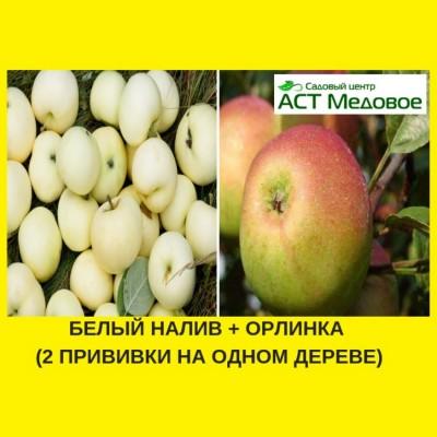 Яблоня с 2-мя прививками БЕЛЫЙ НАЛИВ + ОРЛИНКА 3-х летнее ЗКС