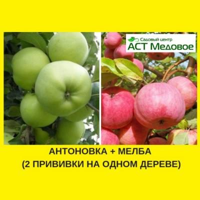 Яблоня с 2-мя прививками АНТОНОВКА + МЕЛБА 3-х летнее ЗКС