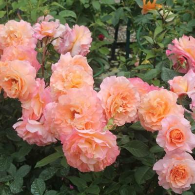Роза чайно-гибридная Августа Луиза ОКС