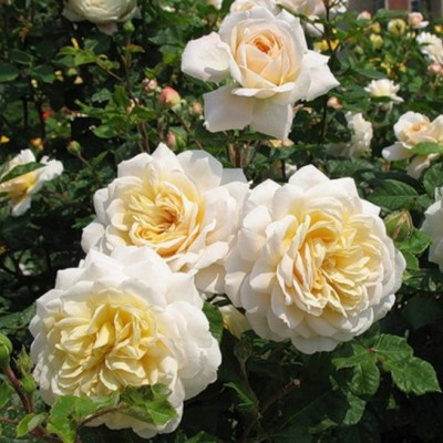 Роза чайно-гибридная Комтесса ОКС