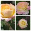 Роза чайно-гибридная Глория дей С4