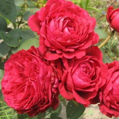 Роза чайно-гибридная Четыре Ветра С4