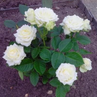 Роза чайно-гибридная Аваланж С4 ПРЕДЗАКАЗ