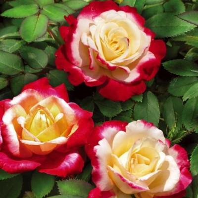 Роза чайно-гибридная Двойное удовольствие на штамбе РА90-110 см С10