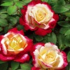 Роза чайно-гибридная Двойное удовольствие ОКС