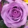 Роза чайно-гибридная Холодная вода С4