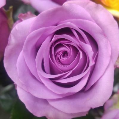 Роза чайно-гибридная Холодная вода ОКС