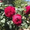 Роза чайно-гибридная Госпел ОКС