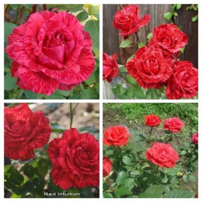 Роза чайно-гибридная Ред Интуишн С4