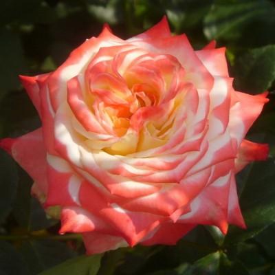 Роза чайно-гибридная Императрица Фарах ОКС