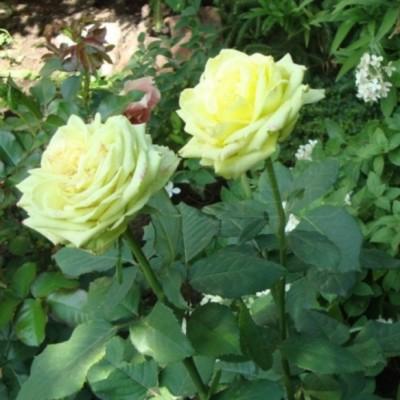 Роза чайно-гибридная Амандина С4 ПРЕДЗАКАЗ