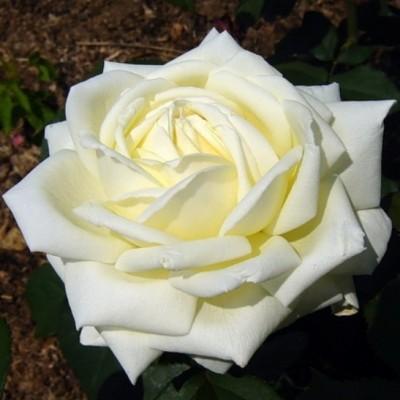 Роза чайно-гибридная Жанна Моро С4
