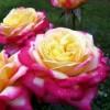 Роза чайно-гибридная Пулман Ориент Экспресс ОКС