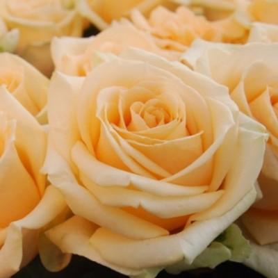Роза чайно-гибридная Аваланж Пич С4