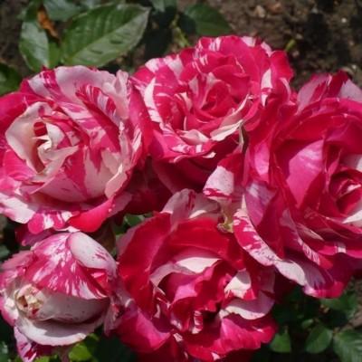 Роза чайно-гибридная Сатин С4