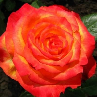 Роза чайно-гибридная Золотая магия ОКС