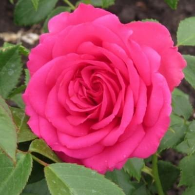 Роза чайно-гибридная Виен Роуз С4