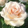 Роза чайно-гибридная Клер Оушен С4