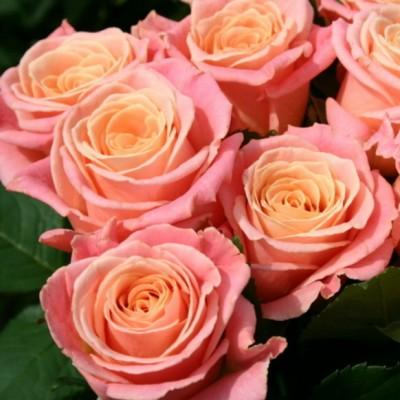 Роза чайно-гибридная Мисс Пигги С4