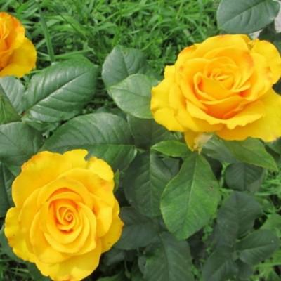 Роза чайно-гибридная Керио С4