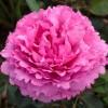 Роза чайно-гибридная Ив Пьяже ОКС