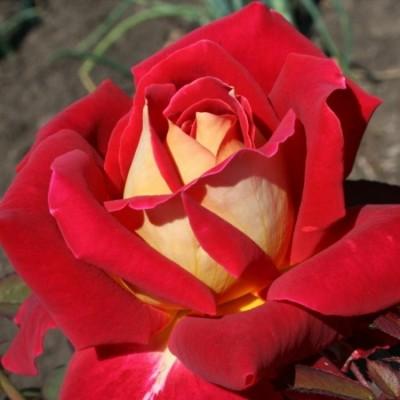 Роза Чайно-гибридная Монте Карло Кантри Клаб С4