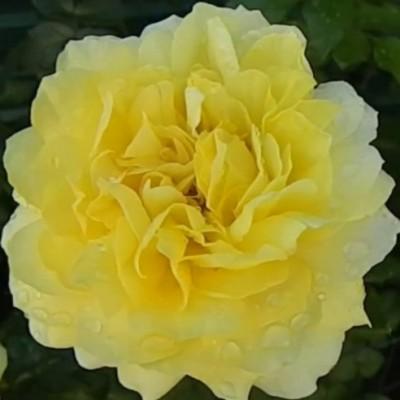 Роза чайно-гибридная Тулуз Лотрек ОКС