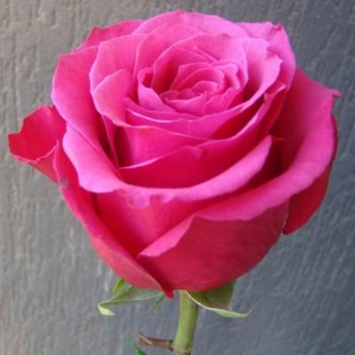 Роза чайно-гибридная Топаз С4