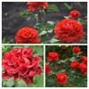 Роза чайно-гибридная Эль Торо С4