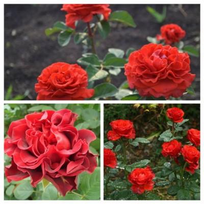 Роза чайно-гибридная Эль Торо ОКС
