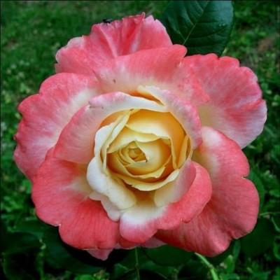 Роза чайно-гибридная Фиджи С4
