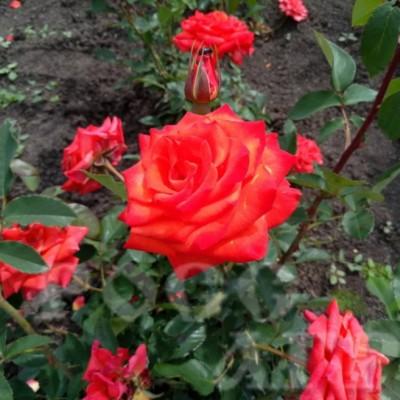 Роза чайно-гибридная Сантана С4