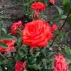 Роза чайно-гибридная Сантана ОКС