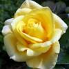 Роза чайно-гибридная Папилон С4