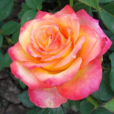 Роза чайно-гибридная Утопия ОКС
